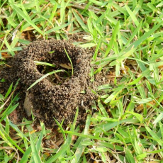 Ant Control | Yard Dawgs Lawn Care