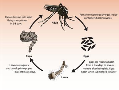 Mosquito Lifecyle